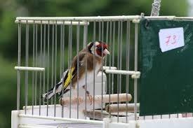 Concurso de pájaros cantores